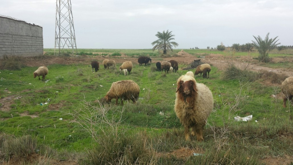 چرای گوسفندان در شادگان