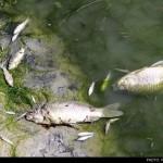 مرگ ماهیهای زایندهرود