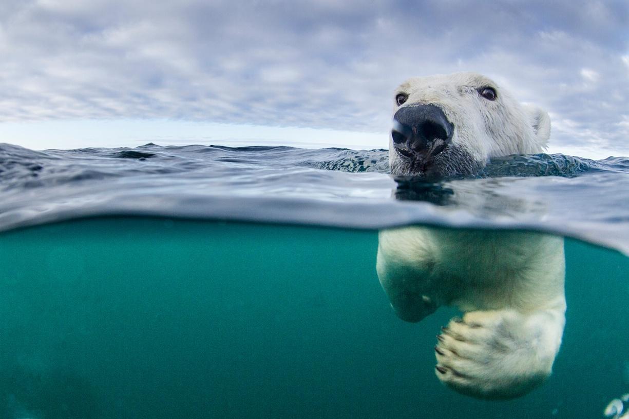 گرمایش زمین؛ بزرگترین دشمن خرس قطبی