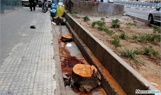 صدور مجوز قطع درختان از سوی شهرداری شیراز