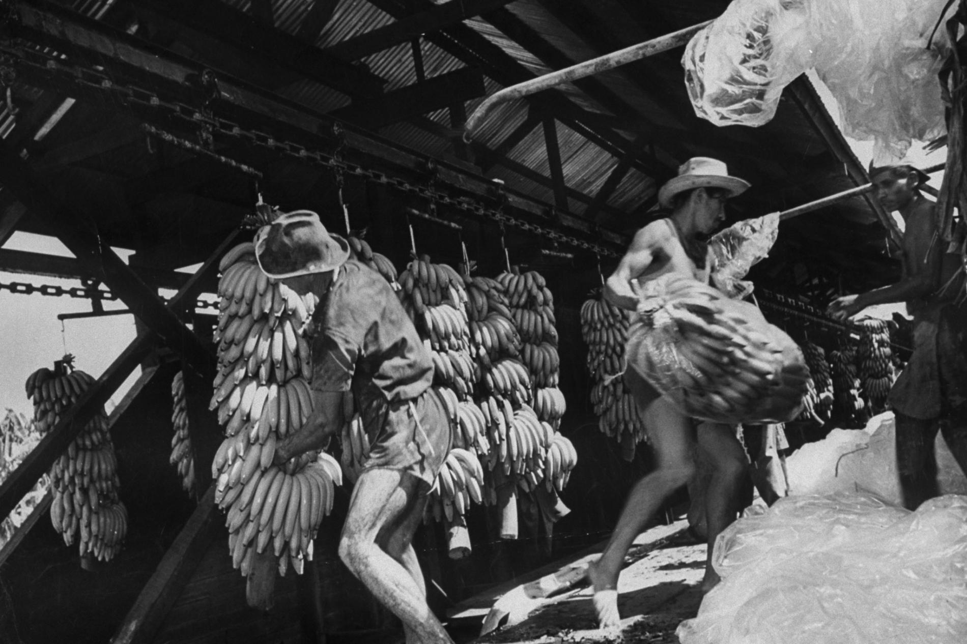 در گواتمالا، در حدود ۱۹۵۳، کارگران در ایستگاه بارگیری موزها را برای یونایتد فروت، که بعدها به چیکیتا تغییر نام پیدا کرد، بستهبندی میکنند.