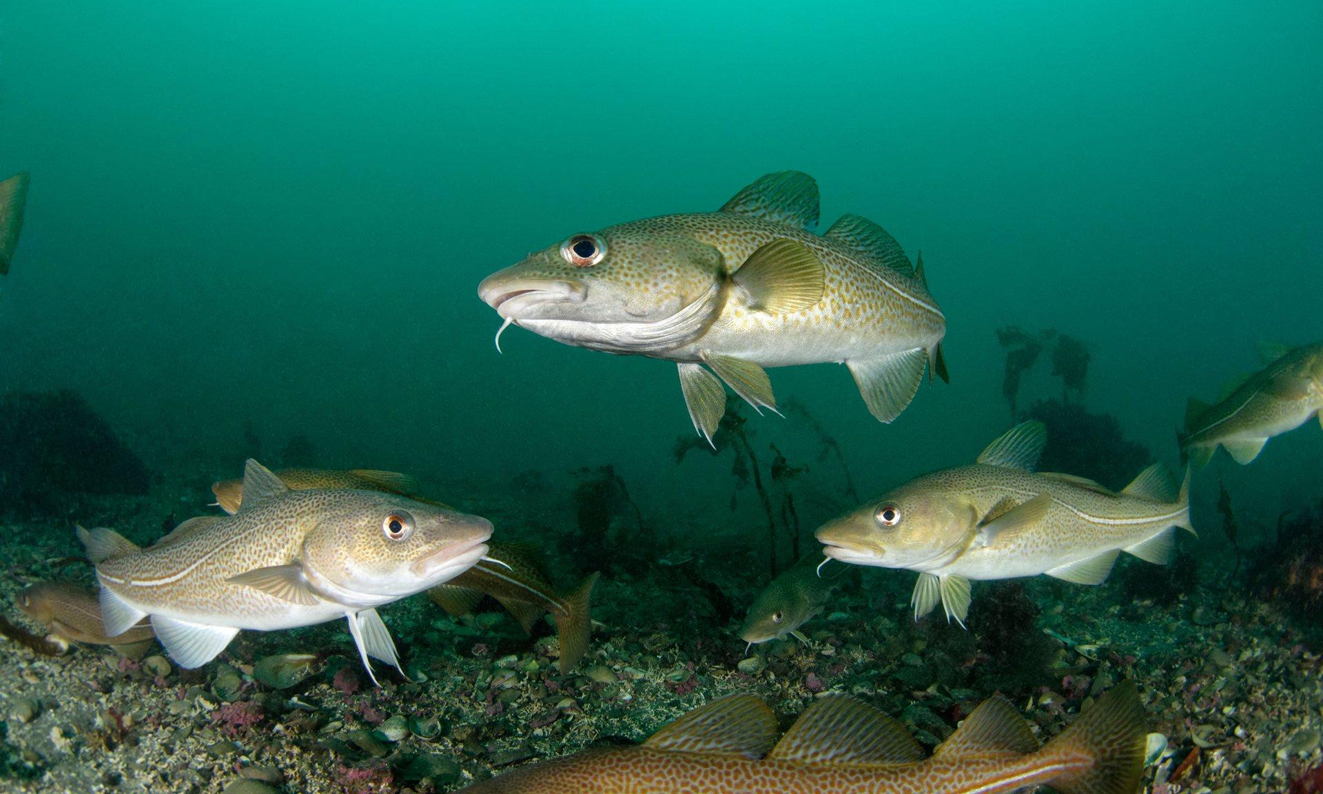 ماهیهای کاد با لهجه محلی با همنوعان خود ارتباط برقرار میکنند