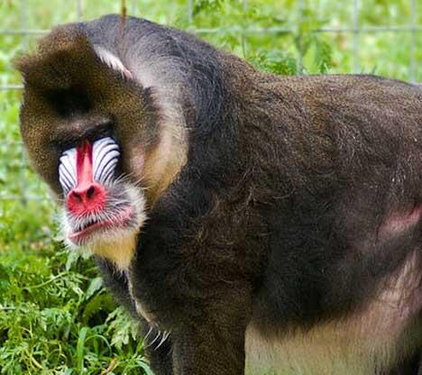 ckz-mandrill-baboon