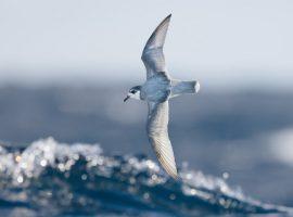 پرندگان دریایی پلاستیک را بو میکشند و به اشتباه میخورند