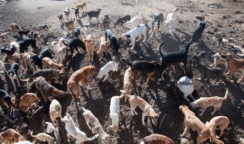 شهردار و معاون شهردار هندیجان به شکار «سگهای ولگرد» میروند
