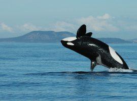 چرا نهنگهای قاتل یائسه میشوند؟