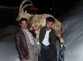 نجات کل کوهی گرفتار در برف در اورامان سروآباد