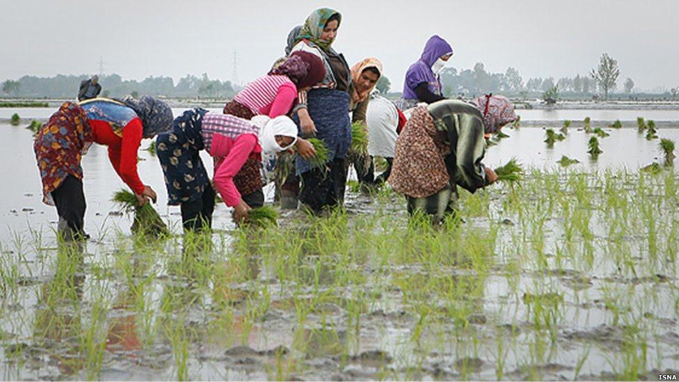 طرح فعالان محیط زیستی برای تامین حقوق شالیکاران