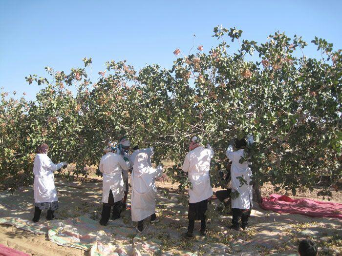 انتقال آب ونک به باغهای پسته رفسنجان