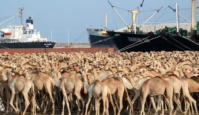 ۱۴۰هزار دلار واردات شتر از انگلیس، ایتالیا، آلمان و کره