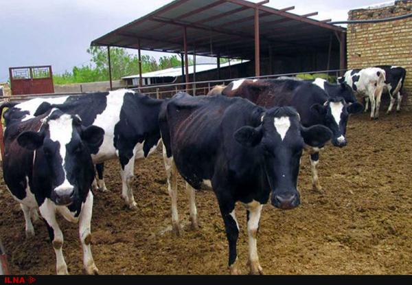 واردات «مافیایی» شیر خشک با ارز دولتی و تبدیل آن به شیر مصرفی مردم