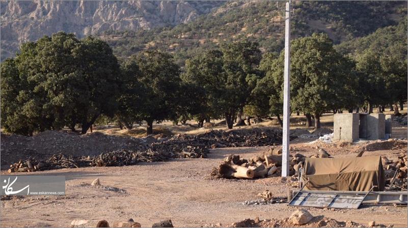 قطع بلوطهای زاگرس با مجوز سازمان جنگلها و اداره منابع طبیعی