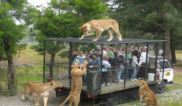 در برخی پارکهای جنگلی، انسانها درون قفس میروند و حیوانات بیرون از قفس هستند.