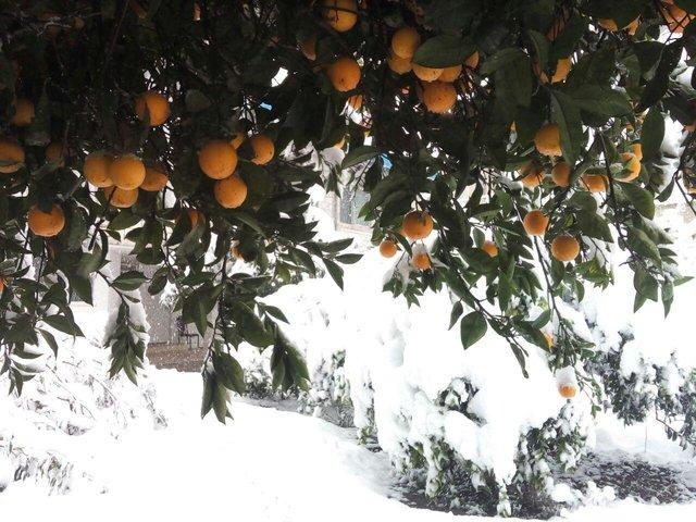 خسارت ۶۰ درصدی برف به باغات مرکبات رودسر