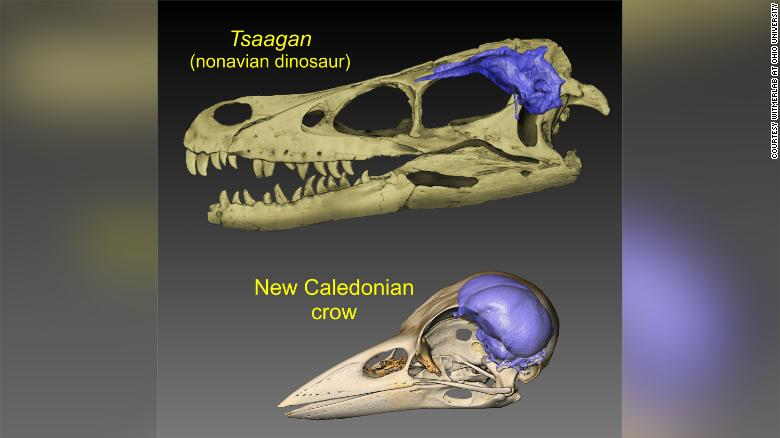 نسبت مغز دایناسور و کلاغ