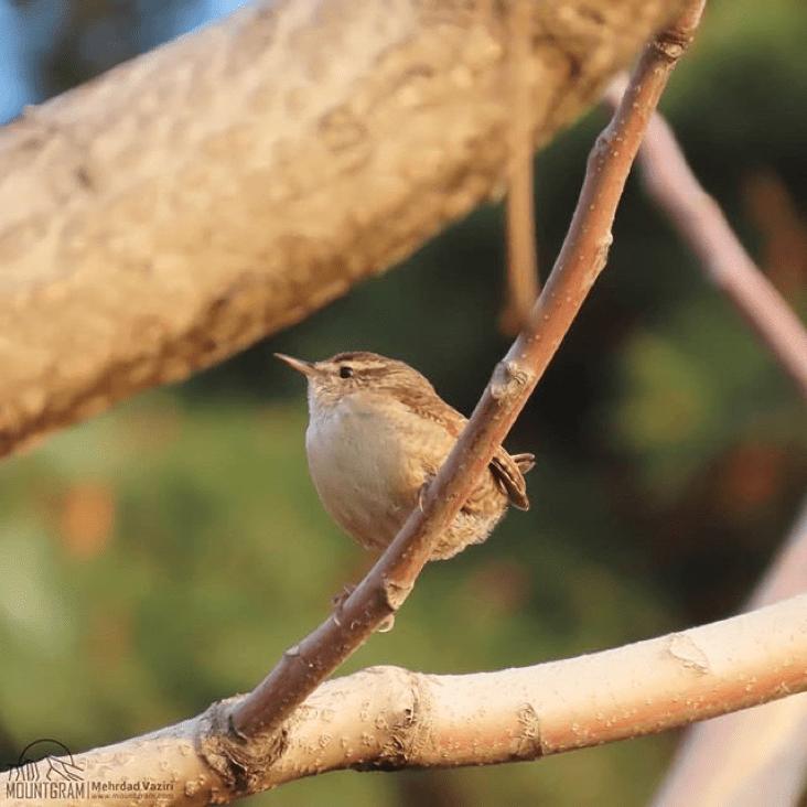شرح عکس:- «الیکایی» یکی از کوچکترین پرندگان ایران در پارک جمشیدیه / عکس از: مهرداد وزیری