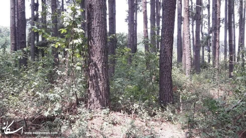 خطر نابودی جنگلهای جلگهای گیلان با مجوز سازمان جنگلها