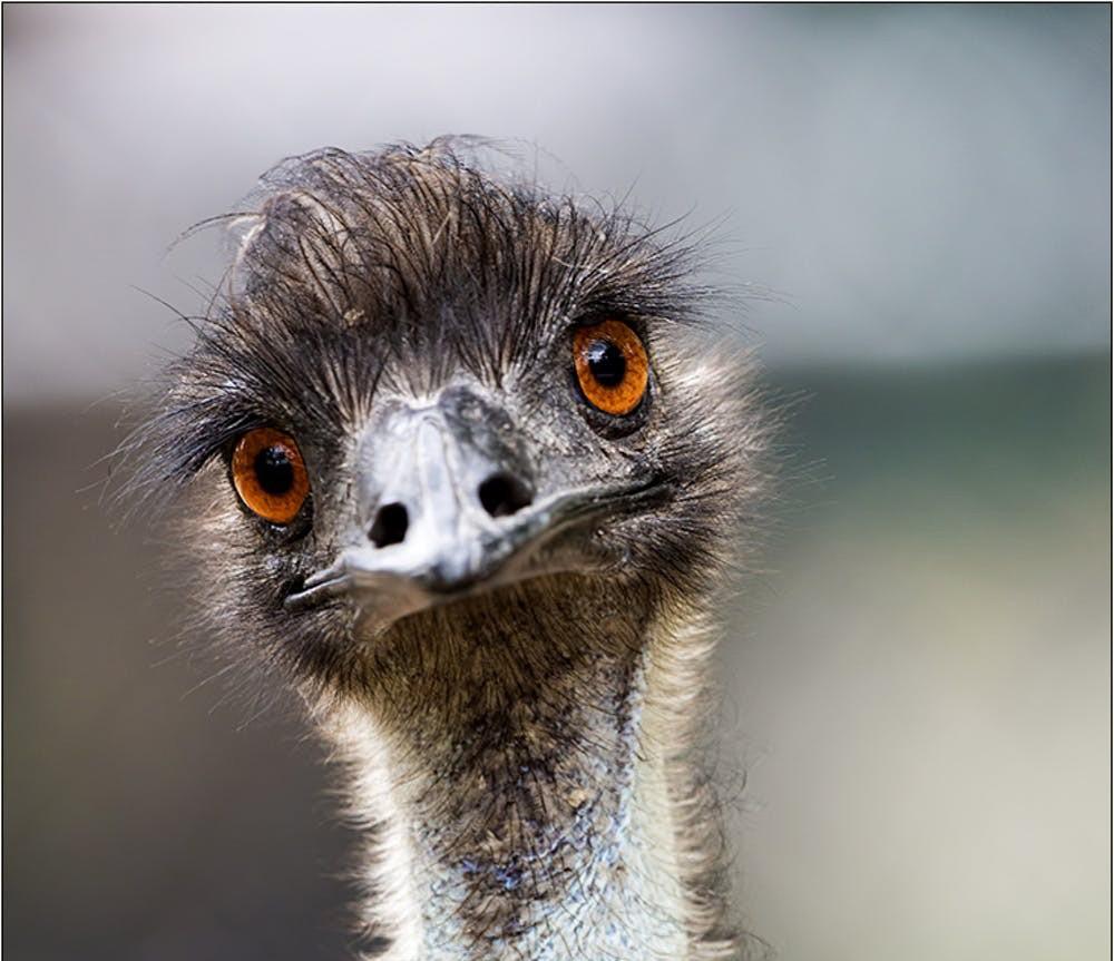 خطر انقراض پرندگانی که پرواز نمیکنند