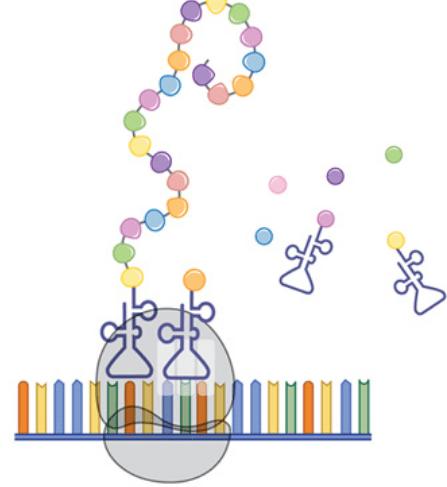 ریبوزوم با خواندن دستورالعمل ساخت، اسید آمینهها را به صورت یک رشته مونتاژ میکند. رشته حاصل در خود پیچ خورده و یک ماشین مولکولی میسازد