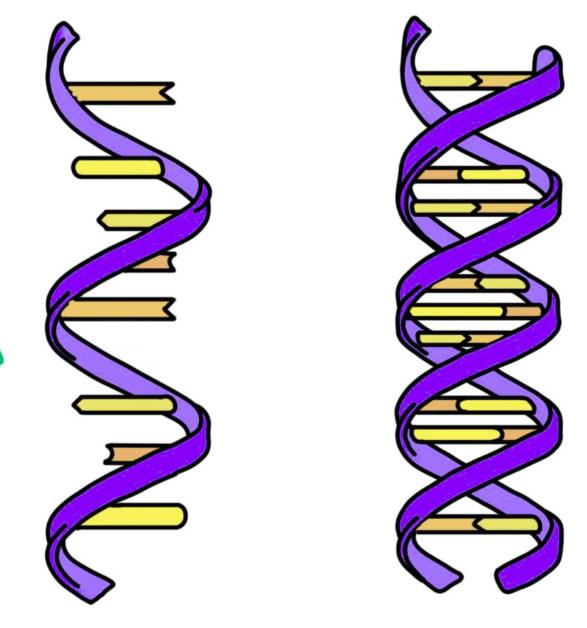 راست: DNA که دو رشته دارد. چپ: RNA که تک رشتهای است.