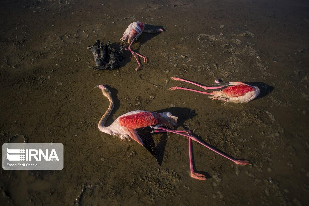 تکرار مرگ و میر مشکوک پرندگان مهاجر در خلیج گرگان