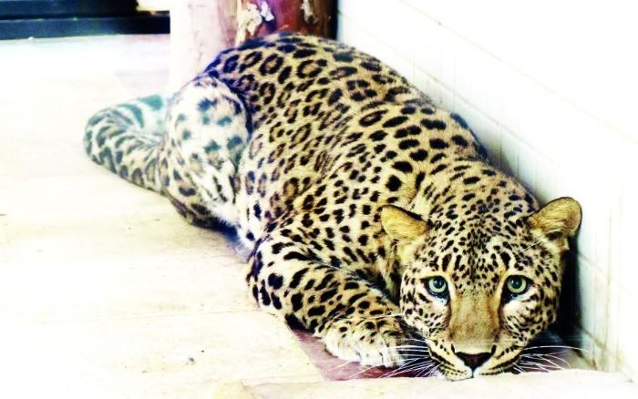 تلههای مرگ؛ از زجر حیوانات وحشی تا معلولیت و مرگ