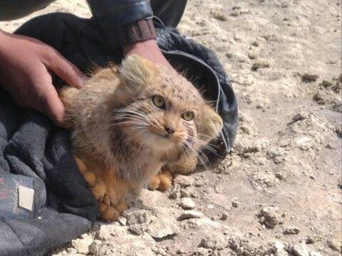 نجات گربه نادر پالاس در تالاب گاوخونی