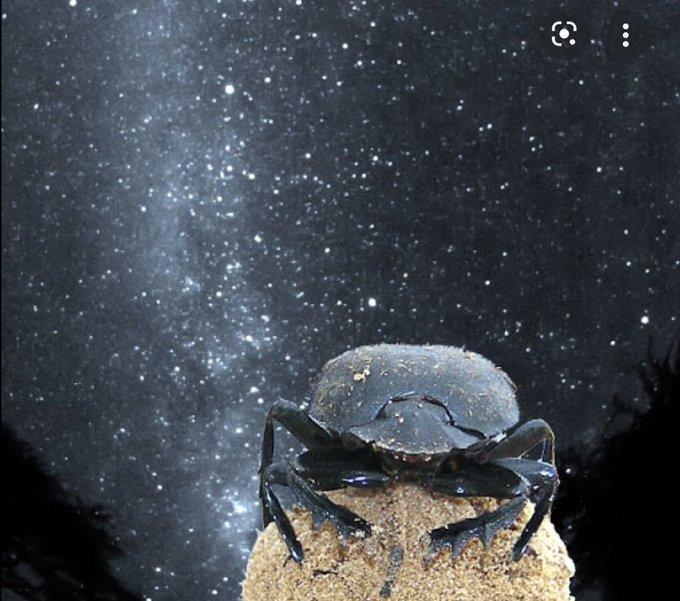 آلودگی نوری باعث گمشدن سوسکها میشود